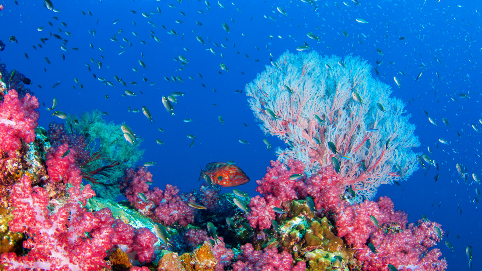 A healthy coral reef in Indonesia.