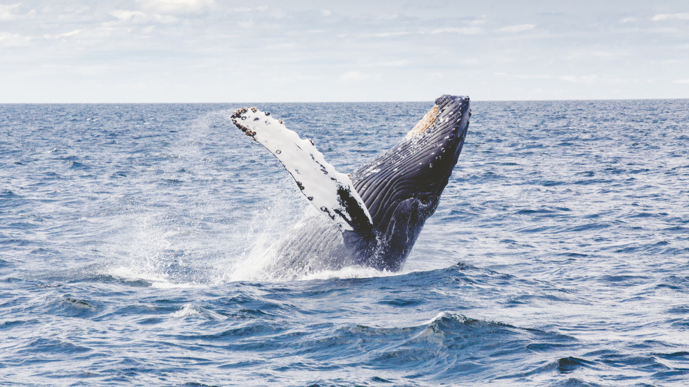 If the UN Convention meets the expectations of conservationists, marine animals such as this whale will be better protected from human impact in the future.