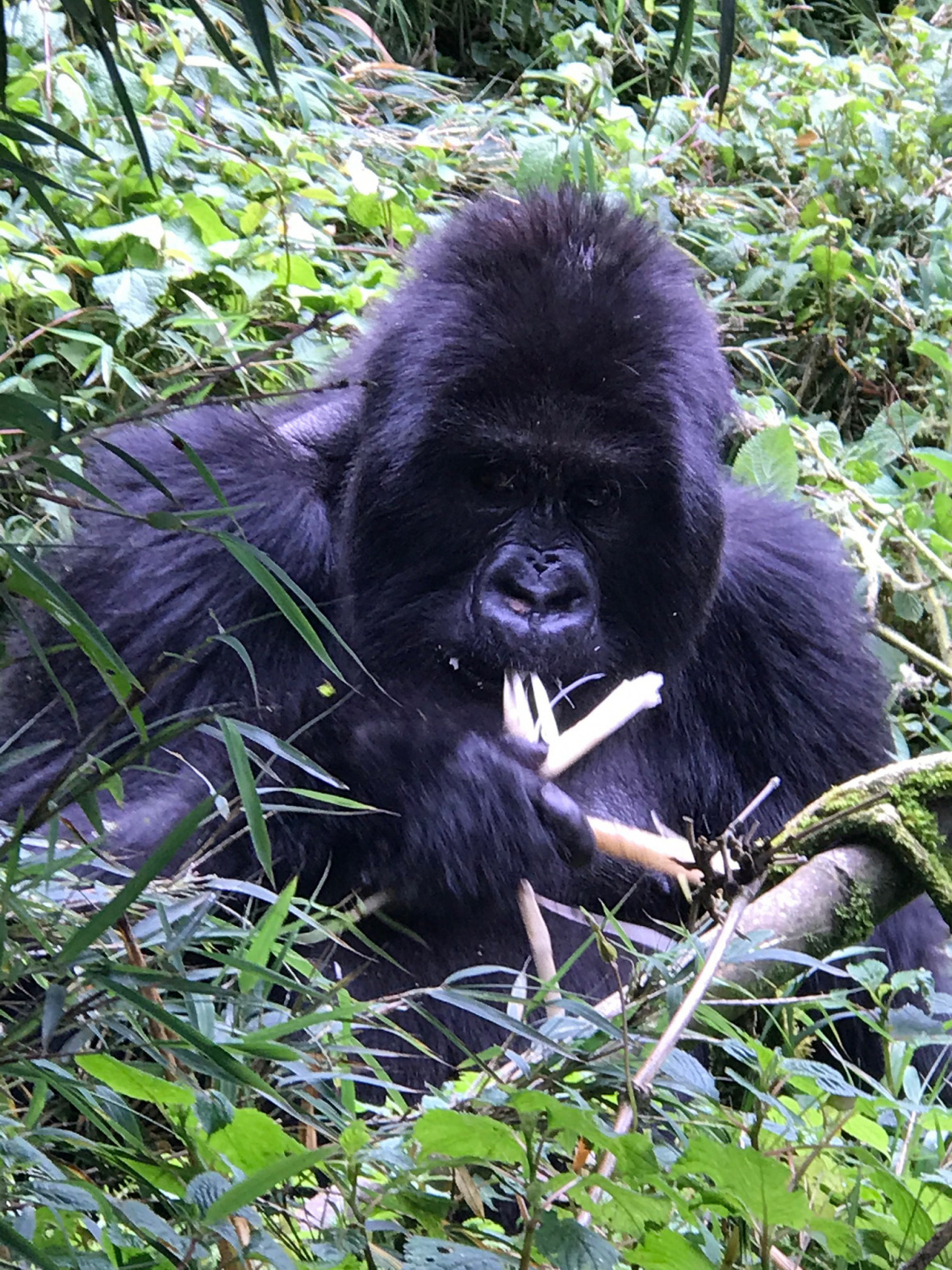 A mountain gorilla at the Volcanoes National Park.