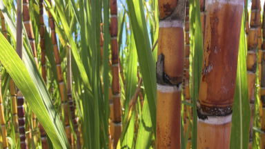 Sugarcane is used as a raw material for biofuels.