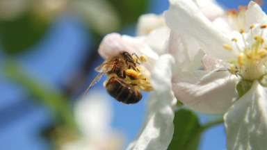 A bee pollinating an apple blossom. Almost all fruit trees depend on these industrious insects.