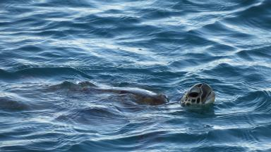 Sea turtles face many threats in their marine habitat, not least from marine litter